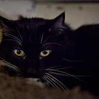 Domestic Longhair Cat for adoption in Midway City, California - Little Jay