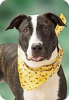 Staffordshire Bull Terrier Mix Dog for adoption in Cincinnati, Ohio - Tuck