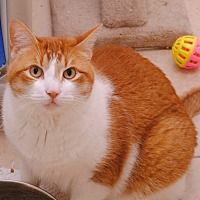 Domestic Shorthair Cat for adoption in Middletown, New York - Cheeto