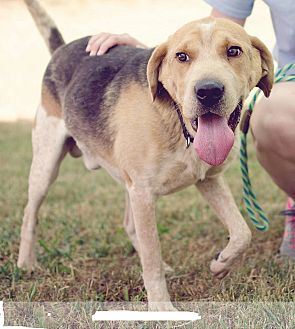 Hound (Unknown Type)/Shepherd (Unknown Type) Mix Dog for adoption in Baltimore, Maryland - Clooney