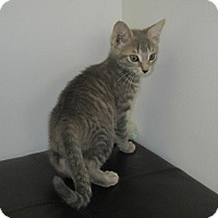 Adopt A Pet :: Gray Tabbies - Norwich, NY