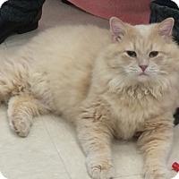 Adopt A Pet :: SnowKing - Alexandria, VA