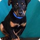 Adopt A Pet :: Robby