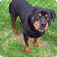 Adopt A Pet :: Rockwilder - Troy, MI