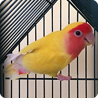 Lovebird for adoption in Middle Island, New York - Sunny