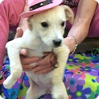 Labrador Retriever Mix Puppy for adoption in Hagerstown, Maryland - Alyanna