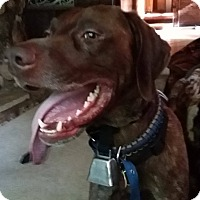 German Shorthaired Pointer Mix Dog for adoption in Alma, Wisconsin - Hank