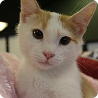 Adopt A Pet :: Boot Strap Bill - Littleton, CO