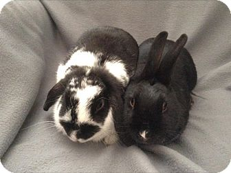 Lop-Eared Mix for adoption in Paramount, California - Moo Moo