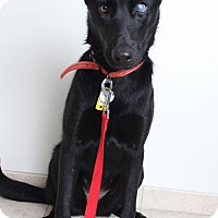German Shepherd Dog/Labrador Retriever Mix Dog for adoption in Edina, Minnesota - Calibasas D161348