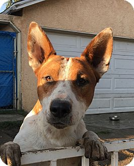 Cattle Dog/German Shepherd Dog Mix Puppy for adoption in Santa Ana, California - Forest