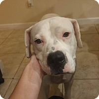 Dogo Argentino Mix Dog for adoption in Tampa, Florida - Candy