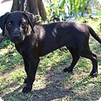 Adopt A Pet :: Sohia - SOUTHINGTON, CT