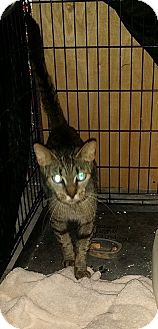 Domestic Shorthair Cat for adoption in Tampa, Florida - Bella