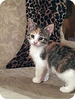 American Shorthair Kitten for adoption in Toms River, New Jersey - Fay