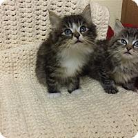 Adopt A Pet :: Alfie & Apollo - Berlin, CT
