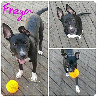 Australian Terrier/Labrador Retriever Mix Dog for adoption in Livermore, California - Freya