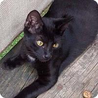 Domestic Shorthair Cat for adoption in Jefferson, North Carolina - Priest