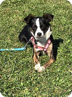 Terrier (Unknown Type, Small) Mix Puppy for adoption in New Oxford, Pennsylvania - Taffy Girl