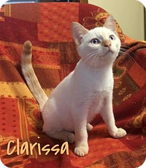 Siamese Kitten for adoption in Harrisville, West Virginia - Clarissa