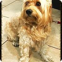 Yorkie, Yorkshire Terrier/Maltese Mix Dog for adoption in Los Alamitos, California - Hollywood