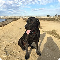 Labrador Retriever Mix Dog for adoption in San Diego, California - Dudley