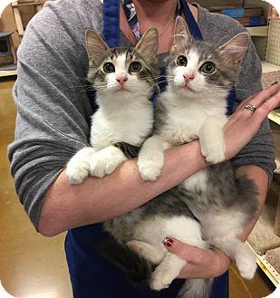 Maine Coon Kitten for adoption in Rocklin, California - Tracker