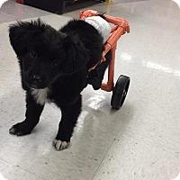 Adopt A Pet :: Frankie - Raleigh, NC