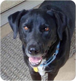 Labrador Retriever/Australian Cattle Dog Mix Dog for adoption in Houston, Texas - Beaux