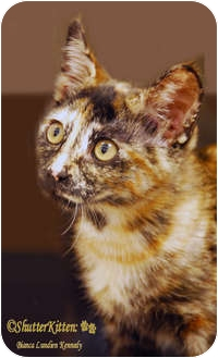 Domestic Shorthair Kitten for adoption in Encinitas, California - Cinnamon
