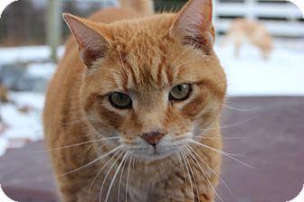 Domestic Shorthair Cat for adoption in Maxwelton, West Virginia - Otis