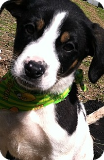 Beagle/Catahoula Leopard Dog Mix Puppy for adoption in Somers, Connecticut - Manni
