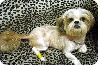 Lhasa Apso/Shih Tzu Mix Dog for adoption in Los Angeles, California - GINNY