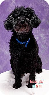 Poodle (Miniature) Mix Dog for adoption in Las Vegas, Nevada - Renoir