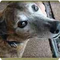Adopt A Pet :: Dingo - St Petersburg, FL