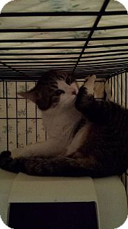 Domestic Shorthair Cat for adoption in Clarkson, Kentucky - Thumper