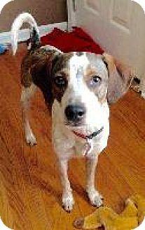 Beagle Dog for adoption in Louisville, Kentucky - Fletch