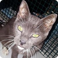 Domestic Shorthair Cat for adoption in New Bedford, Massachusetts - Rex