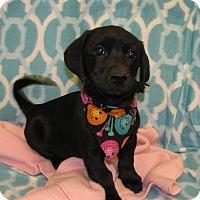 Adopt A Pet :: Gogo - Charlemont, MA