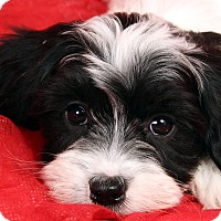Adopt A Pet :: Julio Shih ton - St. Louis, MO