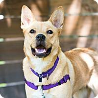 Adopt A Pet :: Foxy - Houston, TX