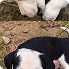 Adopt A Pet :: Domino pup Cooper