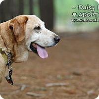 Adopt A Pet :: Daisy Duke - Minneola, FL