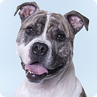 Adopt A Pet :: Graham - Chicago, IL