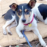 Rat Terrier Dog for adoption in Lodi, California - Anders (ID)