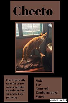 Domestic Shorthair Cat for adoption in CLEVELAND, Ohio - Cheeto