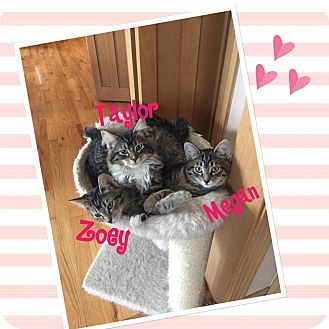 Domestic Shorthair Kitten for adoption in Idaho Falls, Idaho - Taylor