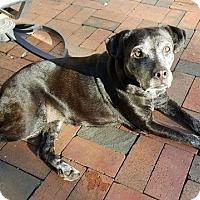Labrador Retriever Mix Dog for adoption in Palm Harbor, Florida - Rosie