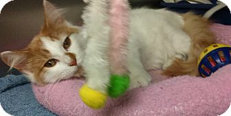 Domestic Mediumhair Kitten for adoption in Glen cove, New York - Twinkie