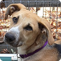 German Shepherd Dog/Hound (Unknown Type) Mix Dog for adoption in Big Canoe, Georgia - Callie